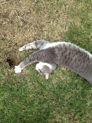 William the Cat stretching near his pocket gopher hole