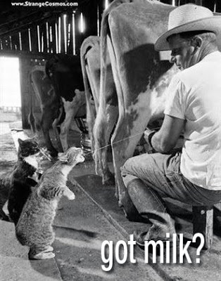 Got Milk poster with man squirting milk into a Manx (tailess) cat's mouth.