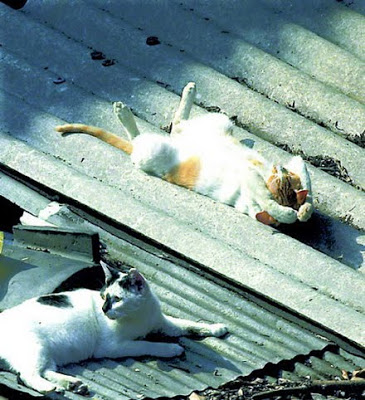 White kitty with orange spots sleeping on a corrugated metal roof.