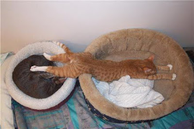 Ginger cat sleeping across two beds.