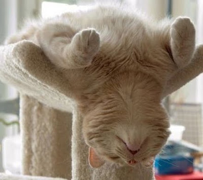 Ginger cat sleeping upside down on his enormous cat scratcher.